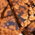 free-photo-yozakura