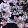 SSK_suimennichiruhanabiratosakura-thumb-autox1600-13879